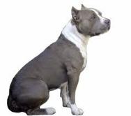Американский булли фото описание породы собак характера